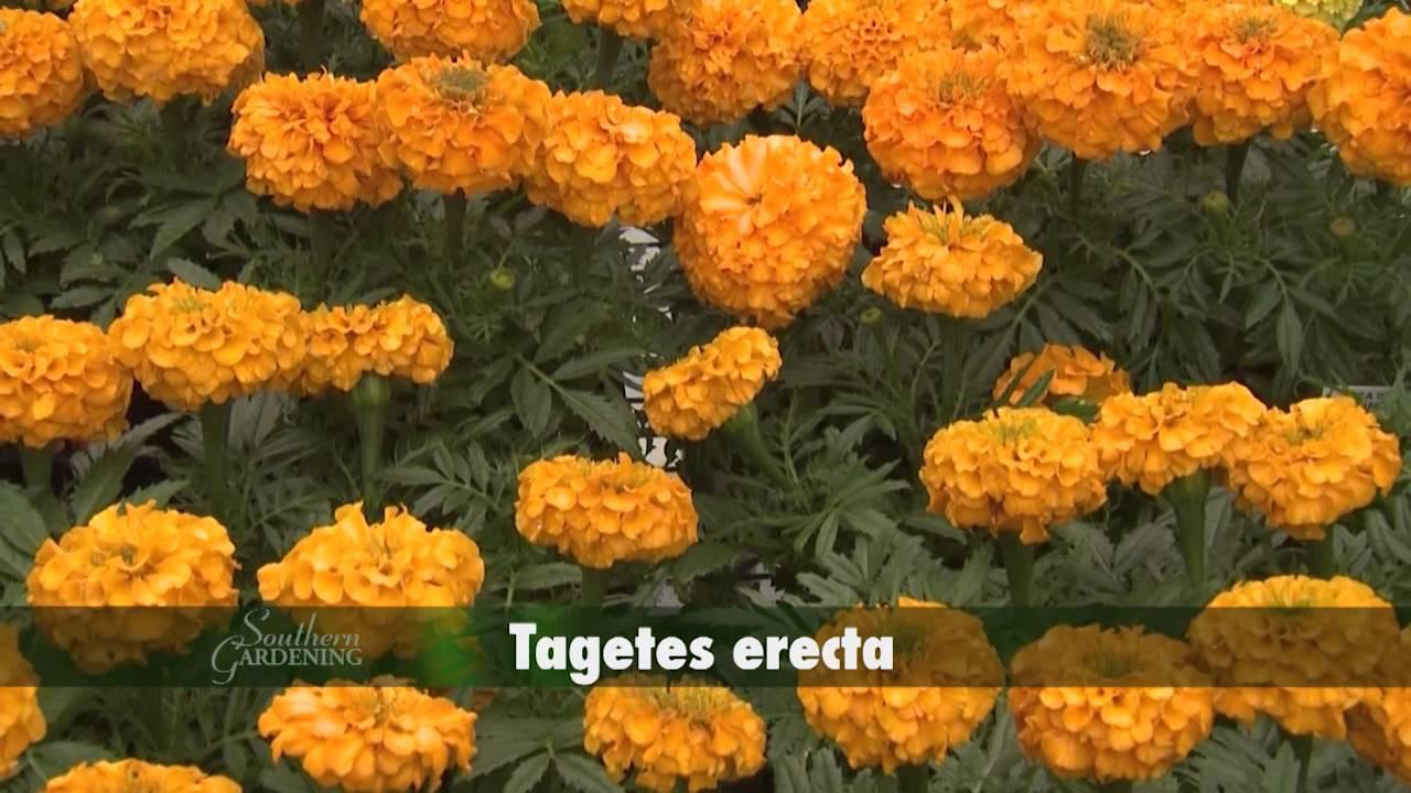 Marigolds - Southern Gardening TV - April 27, 2014 - YouTube