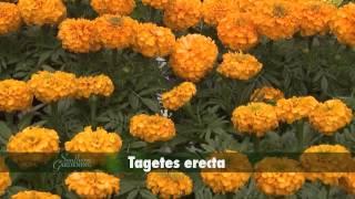 Marigolds - Southern Gardening TV - April 27, 2014