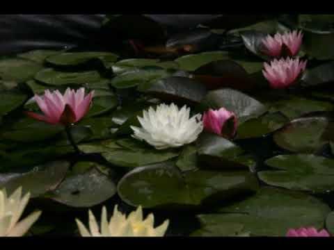 Piante dacqua, immagini ninfee e fiori di loto - YouTube