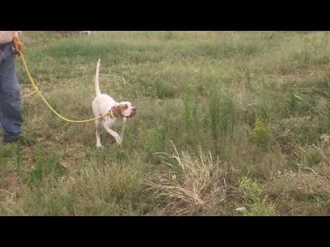 Started English Pointer Champion Elhew Pedigree 25 Male 8 Months