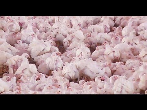Una granja de pollos.