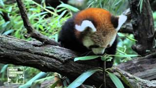 HD Red Panda Cubs at Bronx Zoo and Prospect Park Zoo B roll