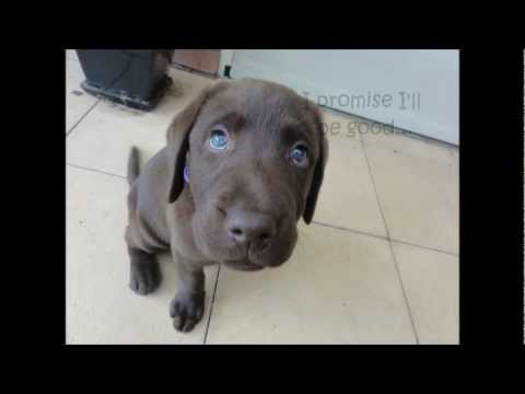 Labrador Puppy Time Lapse 8 Weeks To 1 Year