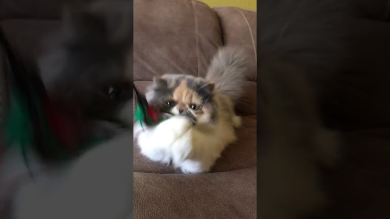 persian kitten dilute calico Available