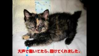 札幌市動物管理センターからさび猫みいちゃんもらった! thumbnail