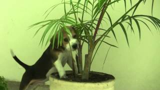 Cute Beagle Puppy Eating Plants