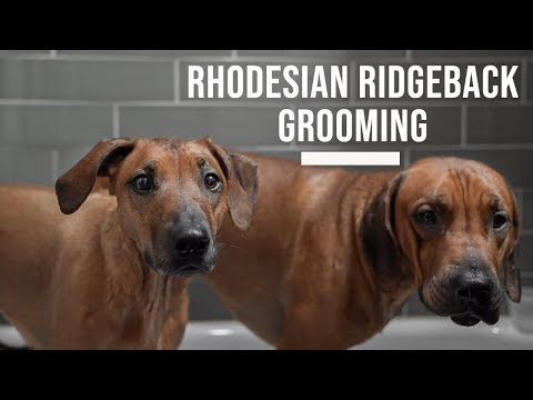 Rhodesian Ridgeback Grooming and Bathing Tips