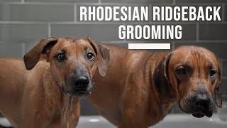Rhodesian Ridgeback Grooming and Bathing Tips