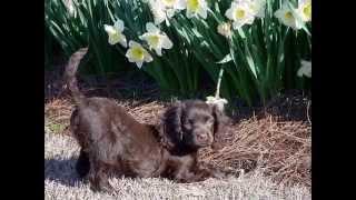 Ирландский   Водяной Спаниель/Irish Water Spaniel (порода собак HD slide show)!