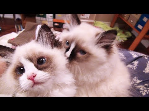 13 Week Old Ragdoll Kittens Are Home-The 1st Hour