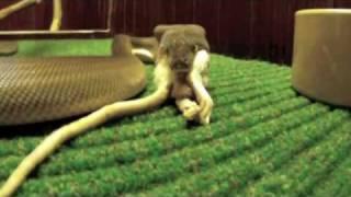Bindii Does Biggy - Olive Python eating a Rat.