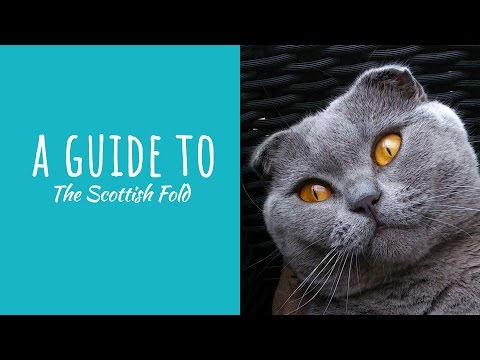 A Guide To The Scottish Fold Cat