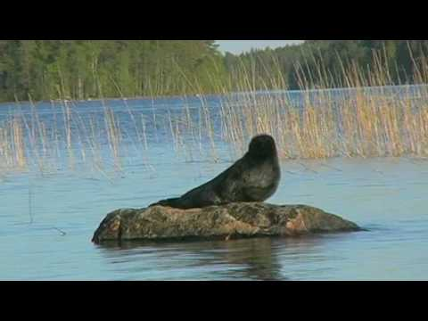 Saimaa Ringed Seal on the Rock