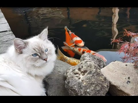 Ragdoll brothers Timo & Toby at the Koi pond (Timo the Ragdoll Cat)