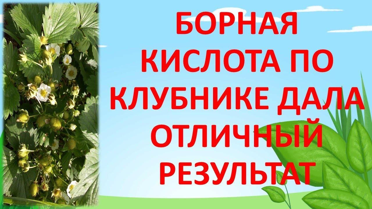 БОРНАЯ КИСЛОТА ПО КЛУБНИКЕ РЕЗУЛЬТАТ ОТЛИЧНЫЙ. Как увеличить урожай клубники. Выращивание клубники.