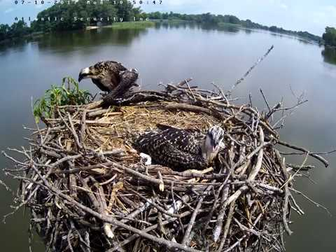 One of Atlantic Security's Osprey chicks falls from the nest
