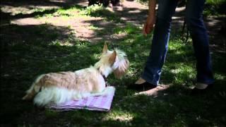 """Как научить собаку команде Место. Дрессировка собак в Новосибирске. Кинологический центр """"БАРС"""""""