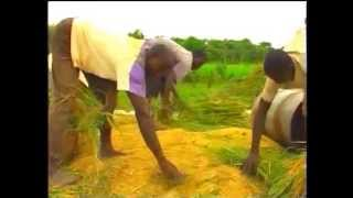 Rice Production in North West Nigeria