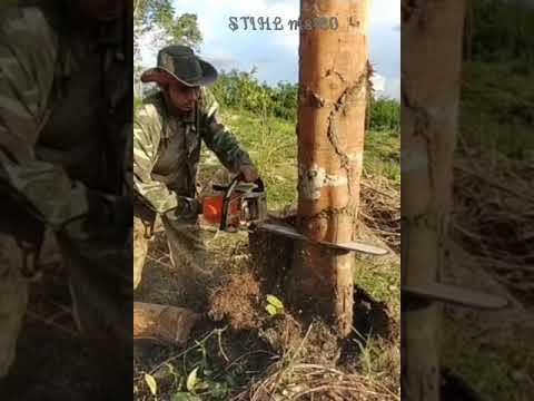 STIHL Ms180 Chiansaw โค่นต้นไม้เนียง จะปลูกยางพาราใหม่ #มือใหม่หัดโค่น  #เลื่อยยนต์
