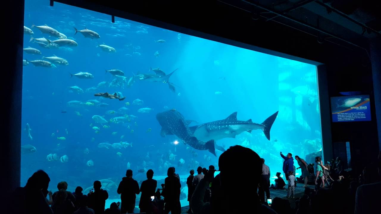 Two Whale Sharks Swim into Each Other at Georgia Aquarium ...