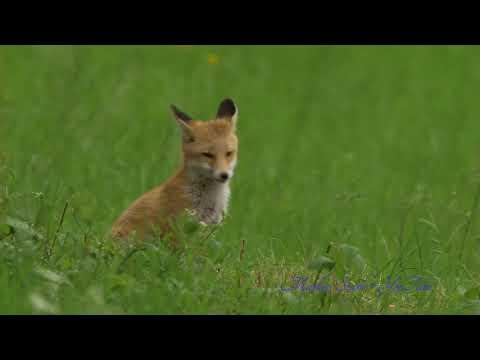 Wild animal - Fox video