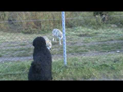 Black russian terrier meeting wolves and bears