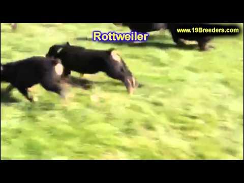 Rottweiler, Puppies, For, Sale, In, Wichita, Kansas, KS, Pittsburg, Hays, Liberal, Prairie Village,
