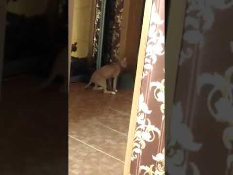 Кошка сфинкс, против кошки британки. Пригрела на груди змею😱
