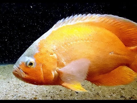 Oscar Fish - Beginners Guide