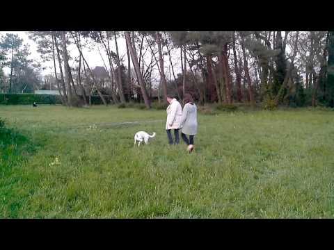 Berger blanc suisse comme chien et chat | Doovi