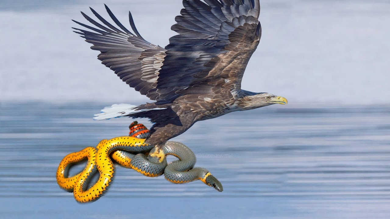 Big Battle Eagle vs snake HD! - YouTube