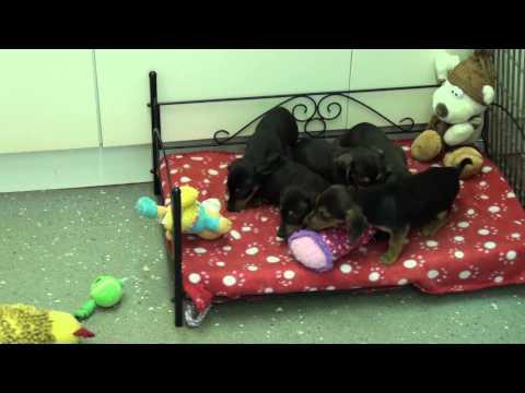 Little Rascals Uk breeders New litter of Pedigree Miniature Dachshunds short haired