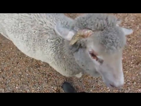 Super fast lamb knows his name and comes running when called