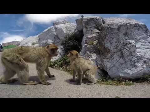 Monkeys of the Gibraltar Rock, up close with Gopro Hero3+