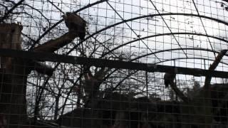 Берлинский зоопарк: белоголовый сип | Berlin Zoogical Garden: Eurasian Griffon
