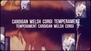 Cardigan Welsh Corgi   Temperament