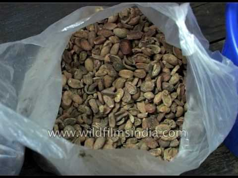 Jatropha - fruit and seeds used for bio-fuel manufacture
