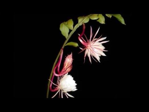 Hoa nở về đêm _ Phương Dung _ DVD 480p