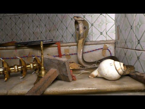 Venomous Cobra Snake Rescue From: Samraipur, Aaradi Chhak, Odisha