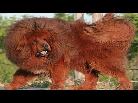 TOP-10 Dog Breeds That Looks Like Lion /Do you know /Aryan Dog Club  Aryandogclub