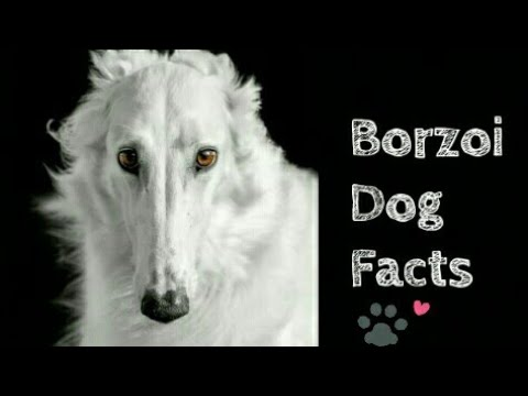 Amazing facts about Borzoi || Animals are awesome