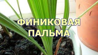 Финиковая пальма из косточки видео