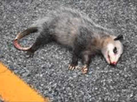 "kill the possum ""playing possum"" is another characteristic reaction the animal rolls over on its side, becomes limp, shuts its eyes, and lets its tongue hang from an open mouth."