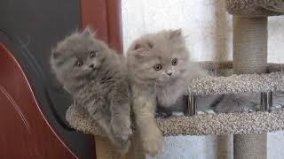 Помет X..Дата  рождения 18.12.18. Британские длинношерстные котята