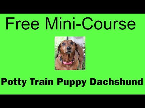 Potty training my mini dachshund