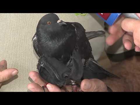 Enviarán al Zoo Ave a paloma que ingresó con droga a la Reforma