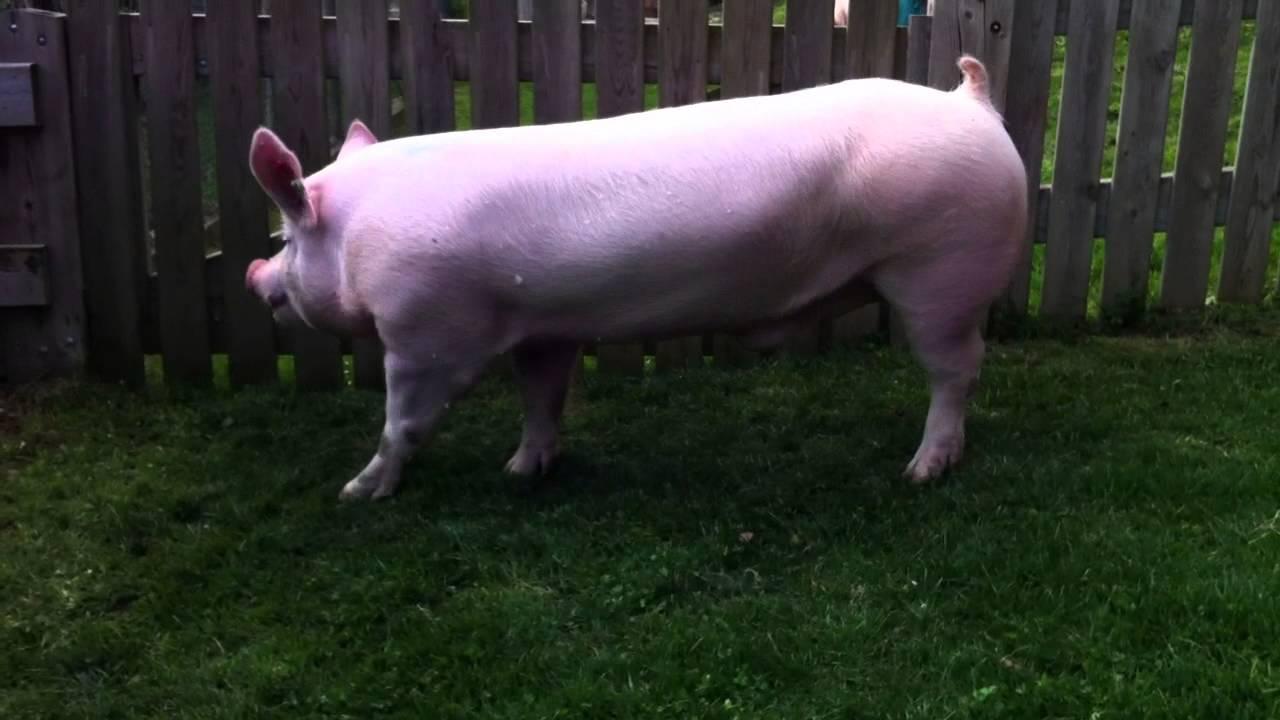Large White Boar 8954
