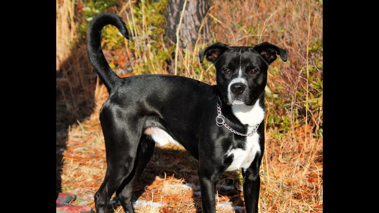 Bowser, a Bouncy 1- to 2-year-old Boxer/Lab mix for ...