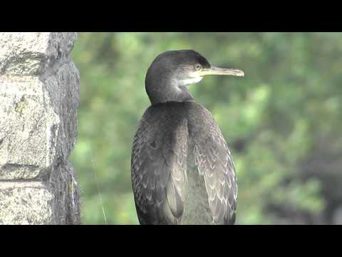 European Shag (Phalacrocorax aristotelis)