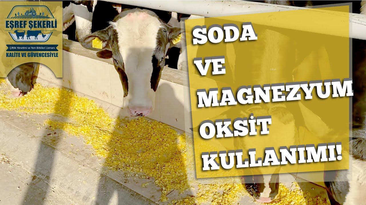 Besi hayvanlarında soda ve magnezyum oksit kullanımı ve serbest yemleme #eşrefşekerli #soda #mgo